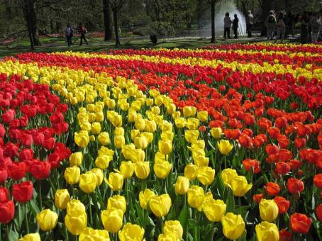Bunga Tulip di Keukenhof Belanda