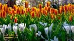 Taman bunga tulip di Keukenhof Belanda Eropa
