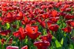 Bunga tulip di Keukenhof Belanda, Eropa