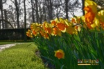 Tulip di Keukenhof Lisse Belanda Eropa