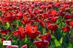 Bunga tulip di Belanda Eropa Barat Keukenhof