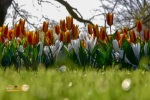 Tulip di Lisse Keukenhof Belanda, Eropa
