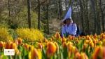Tulips in Lisse Keukenhof South Holland Europe