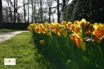 Bunga tulip di Lisse Keukenhof Belanda Eropa