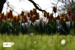 Bunga Tulip di Lisse Keukenhof Belanda, Eropa