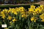 Tulip di Belanda di Lisse Keukenhof Eropa